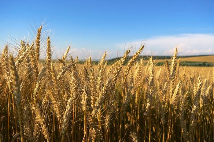 Pšenica a vhodné klimatické podmienky